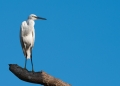 egretta garzetta. The Little Egret is one of the many migr...
