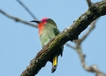 nyctyornis amictus (male). Red-bearded Bee-eater.
