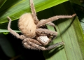 gnathopalystes sp.. A large and hairy huntsman spider (spara...