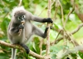 trachypithecus obscurus (male). The Dusky Leaf Monkey or Spectacled Lang...
