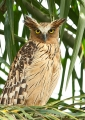 ketupa ketupu. Buffy Fish-owl.