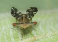 A stalk-eyed fly, possibly from the teph...