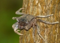 episesarma sp.. Tree Climbing Crabs (episesarma sp.) usu...