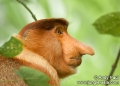 nasalis larvatus (male). Portrait of a male Proboscis Monkey (nas...