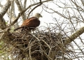 haliastur indus. Brahminy Kite with its nest which is mad...