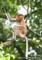 nasalis larvatus. Endemic to Borneo, the Proboscis Monkey ...