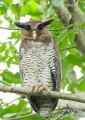 bubo sumatranus. Barred Eagle-Owl or Malay Eagle-Owl (bub...