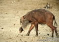 sus barbatus. The Bearded Pig (sus barbatus) has the l...